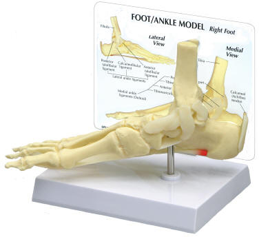 Human Foot Skeletons and Human Ankle Skeletons
