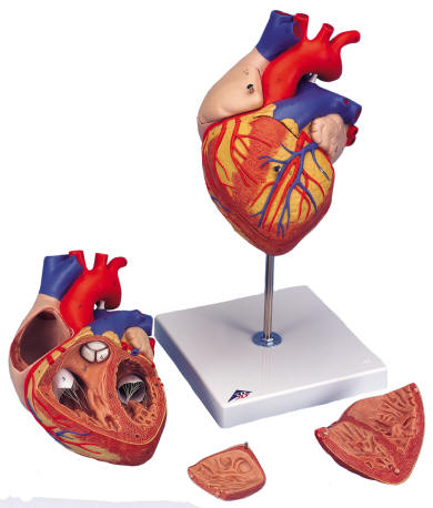 Human Heart With Bypass Model Heart With Esophagus And Trachea