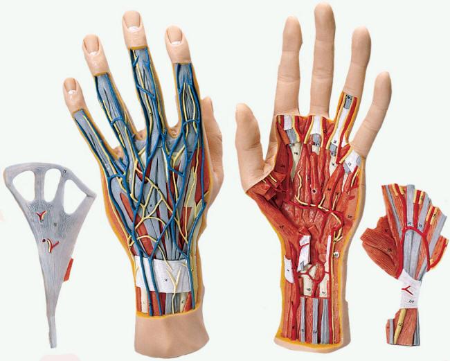 Human Hand Models